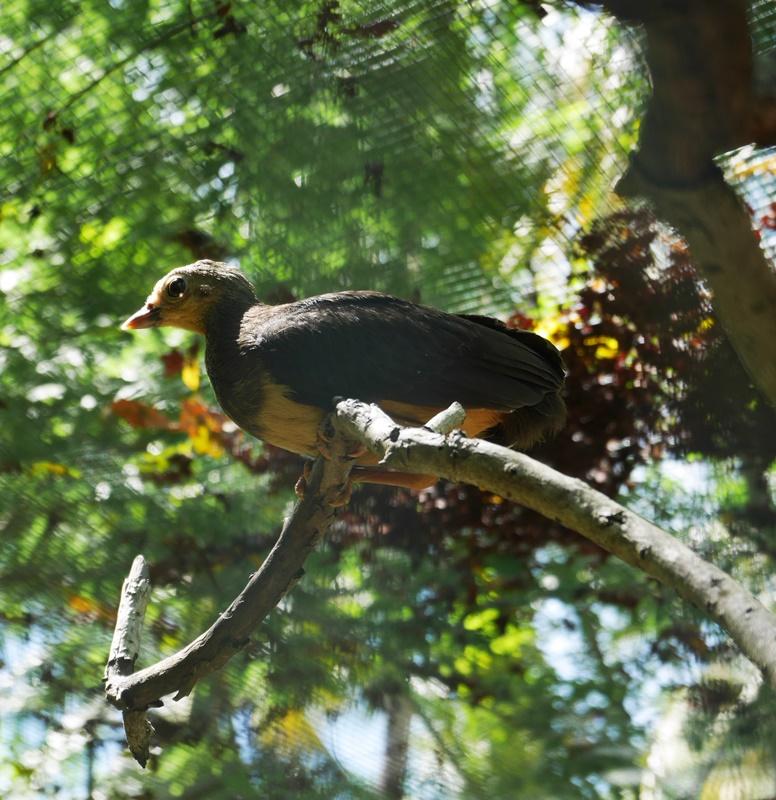 Macrocephalon maleo; burung Maleo